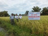 Lãnh đạo Công ty Giống cây trồng Hải Dương thăm mô hình giống SHPT3 tại Bình Định