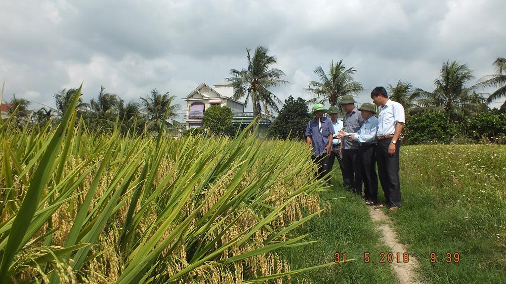 Giống lúa SHPT3 năng suất cao, chống chịu sâu bệnh tốt, thích ứng với biến đổi khí hậu, làm nguyên liệu cho chế biến bún, bánh đa hiệu quả